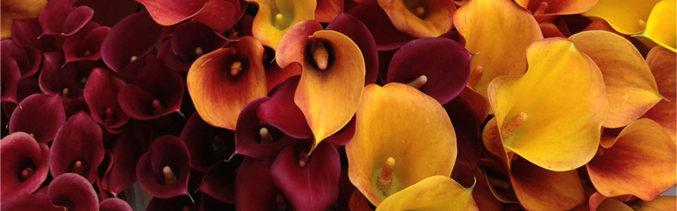 Burgundy Callas