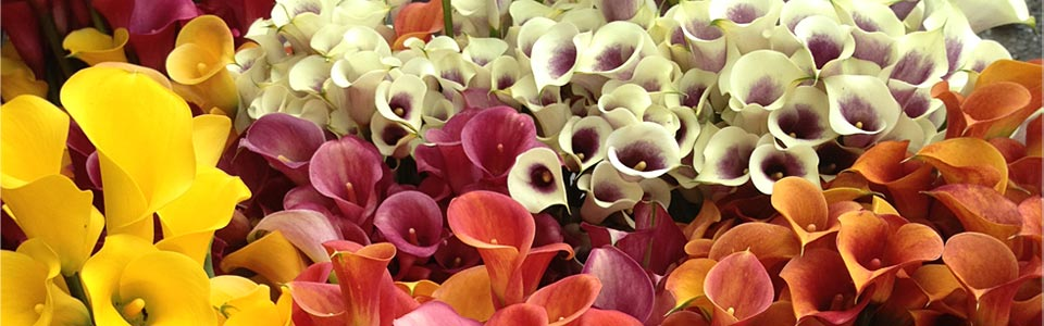Mixed Colour Callas